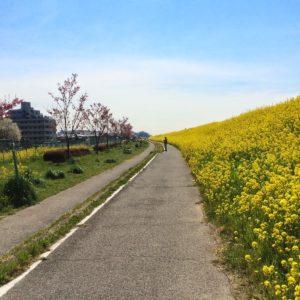 菜の花満開 江戸川サイクリングロード